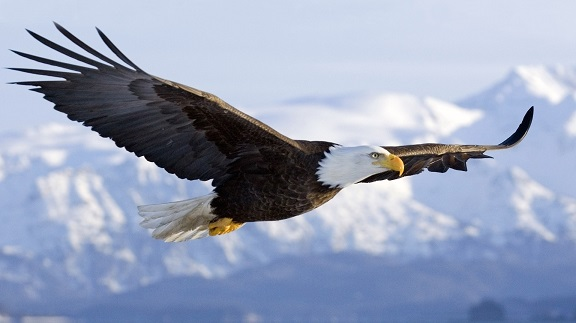 Eagle Flying7